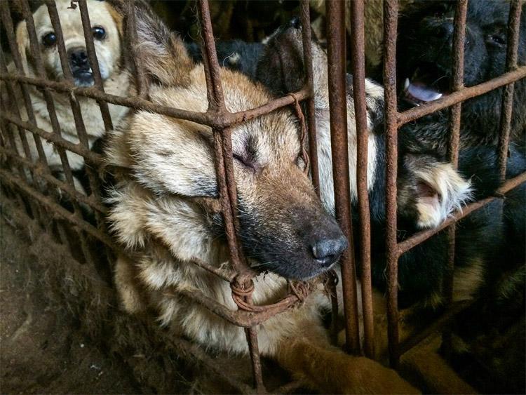 festival di yulin, carne di cane